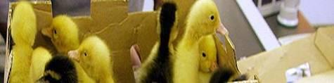 Ducksatthemall_1