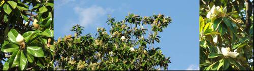 Magnolia_tree_1